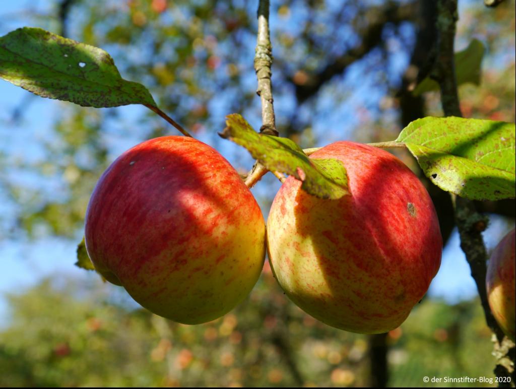 zwei Äpfel am Baum